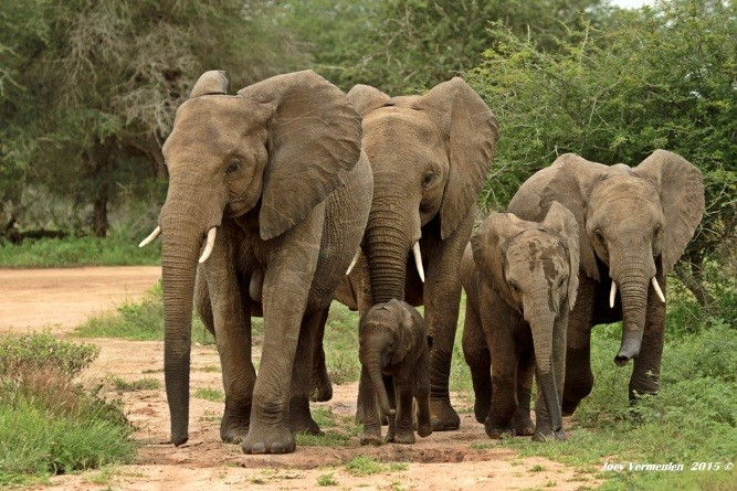 Beautiful sighting of elephant herd - photograph by Joey Vermeulen