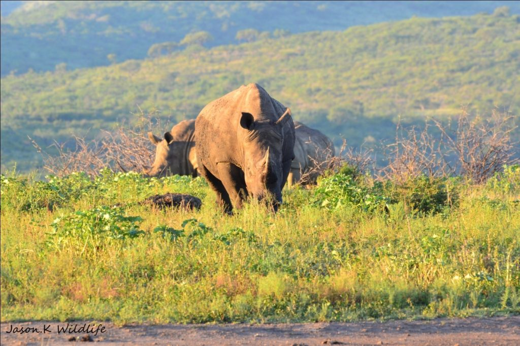 Photograph of rhino by Jason Kipling, Ranger, Rhino Ridge Safari Lodge