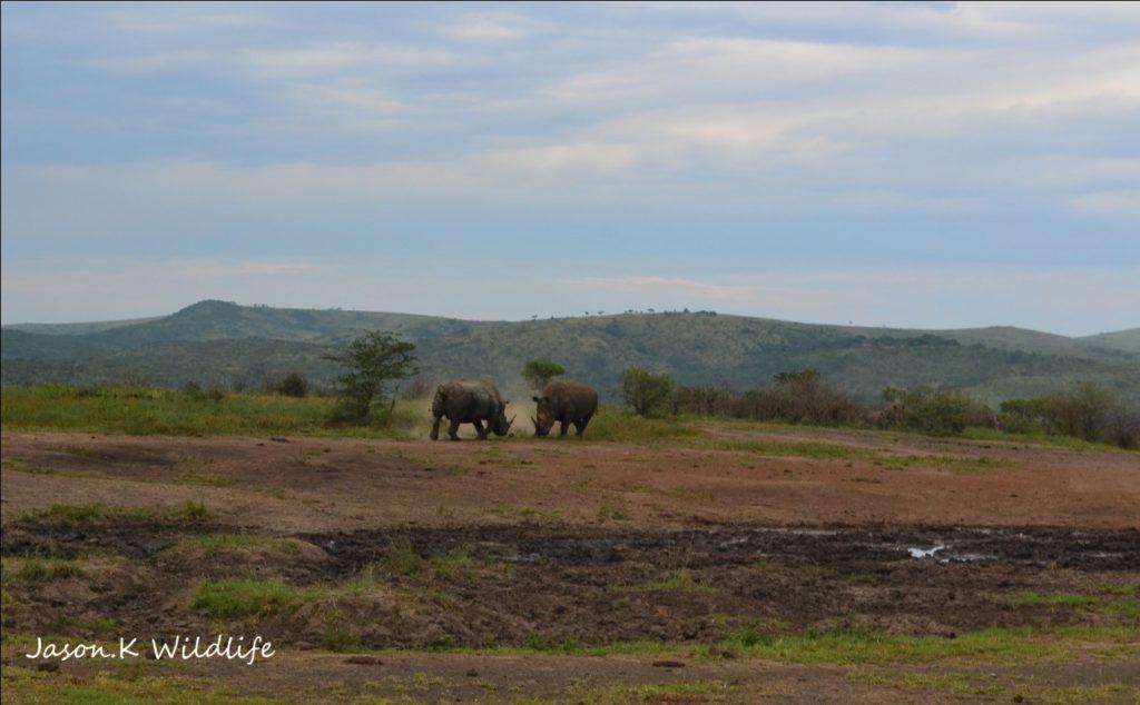 Rhino bulls fighting - photograph by Jason Kipling