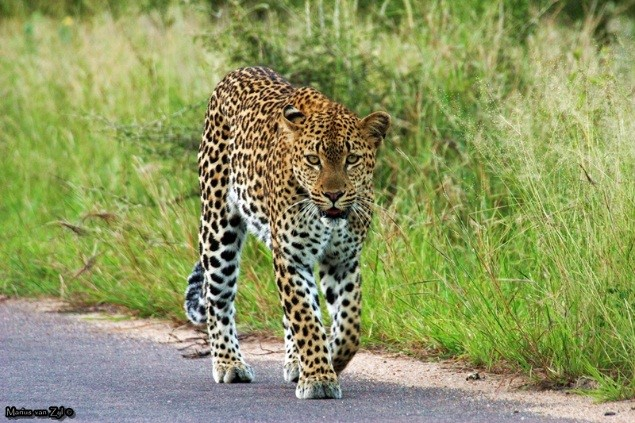 Leopard are often spotted walking along the road - photograph by Joey Vermeulen