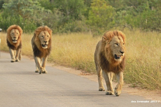 Lion males walking along the road in the early morning light - photograph by Joey Vermeulen