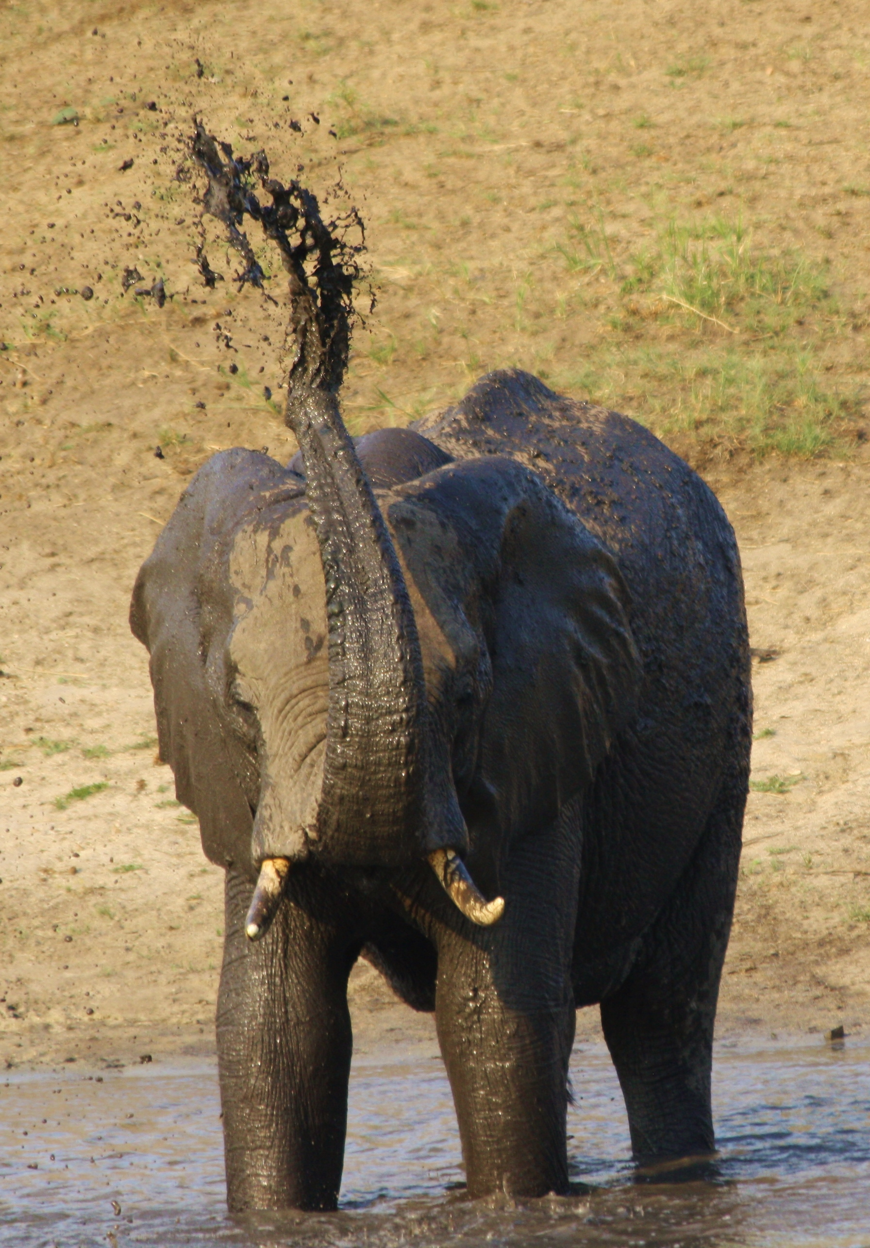 Watching this elephant splashing himself was a highlight of our walking safari