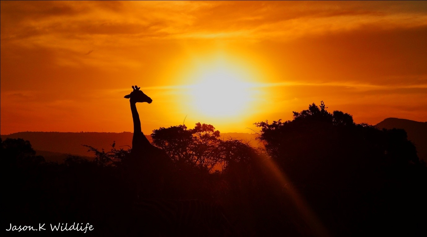 Jason April 2015 Giraffe sunset