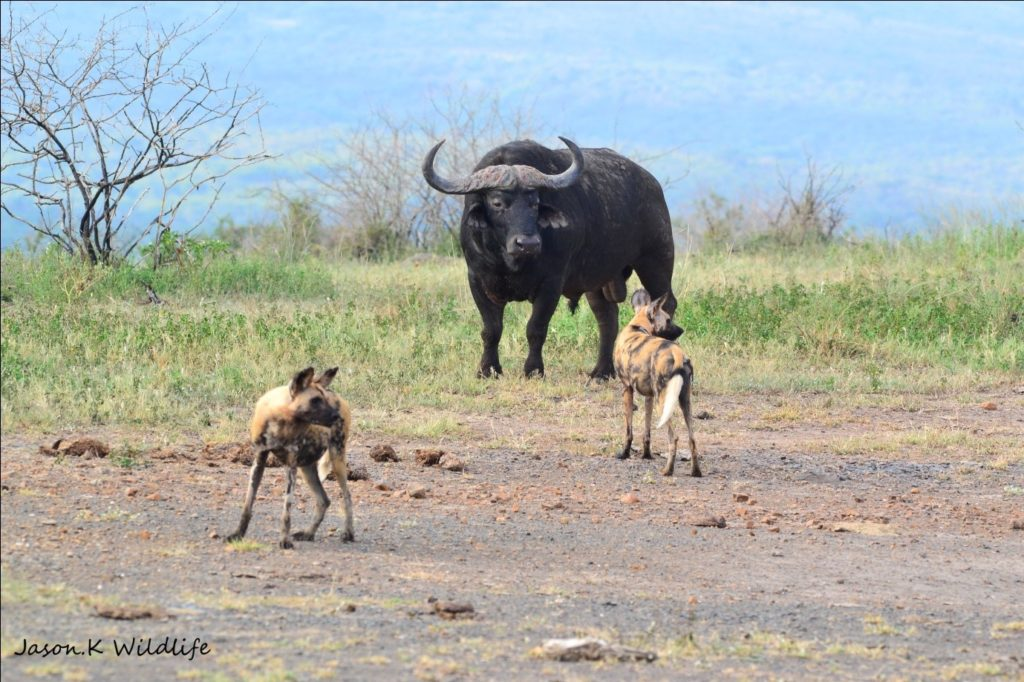 Jason April 2015 Wild Dog Buffalo 2