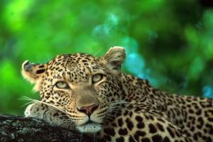 Leopard - Roger De La Harpe