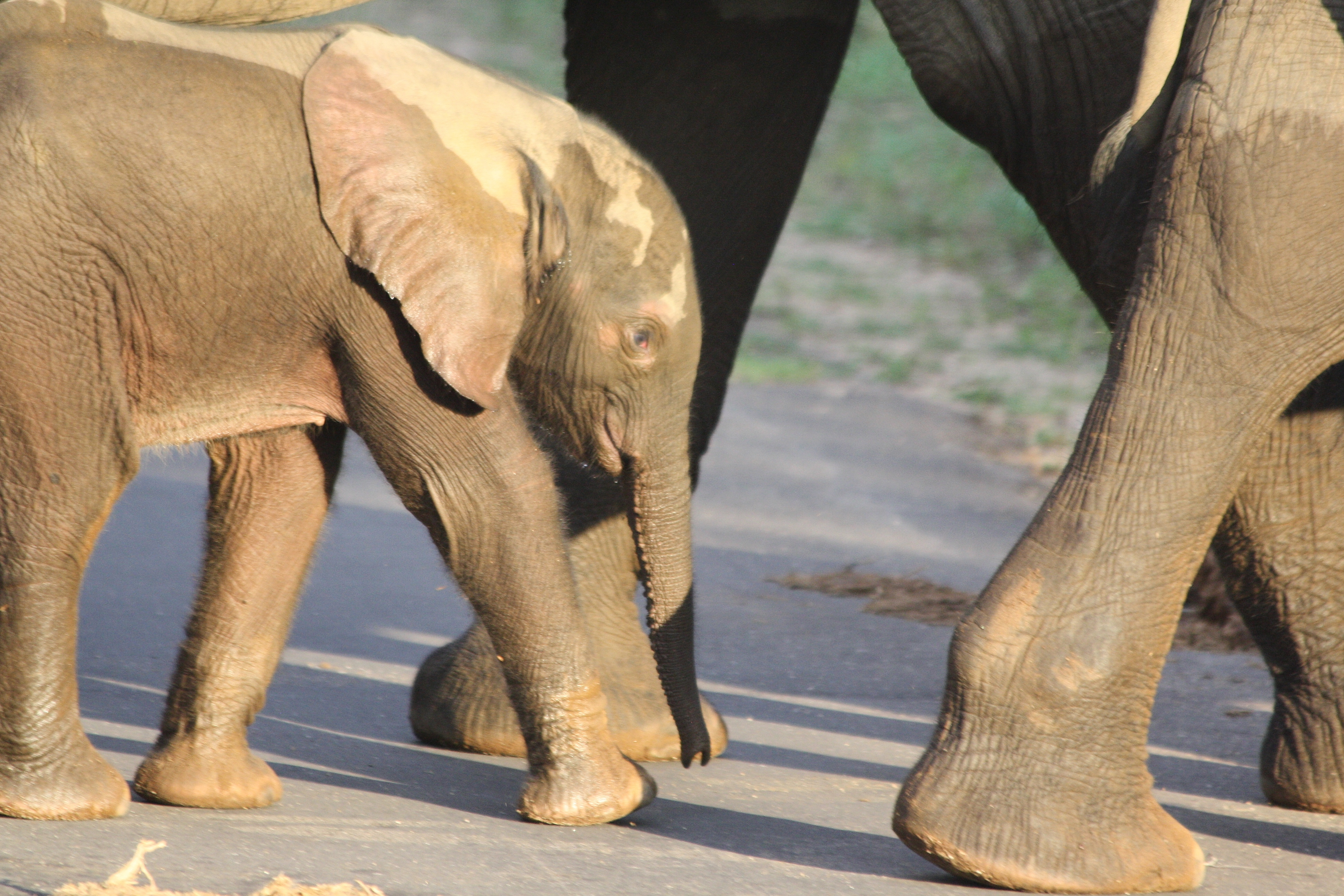Elephant babies often walk with what looks like a little smile on their cute faces