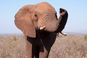 Elephant close-up by Chris Laskey