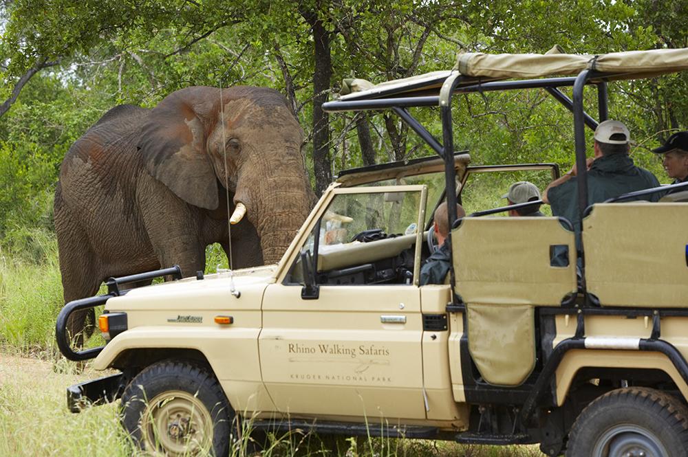 Elephant on game drive in Kruger National Park