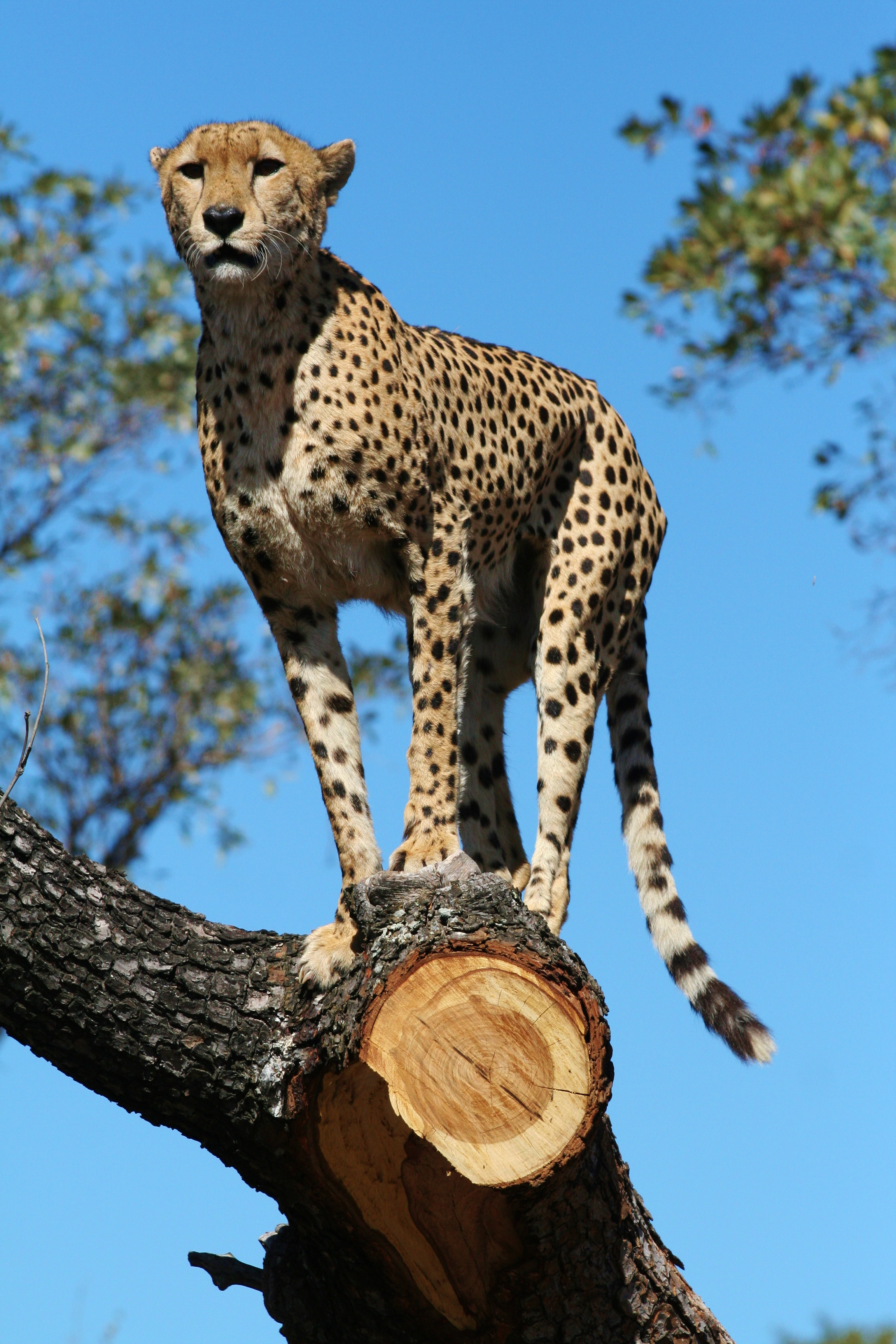 It is a privilege to spot one of these cheetah, as there are only estimated to be about 400 in the Kruger National Park