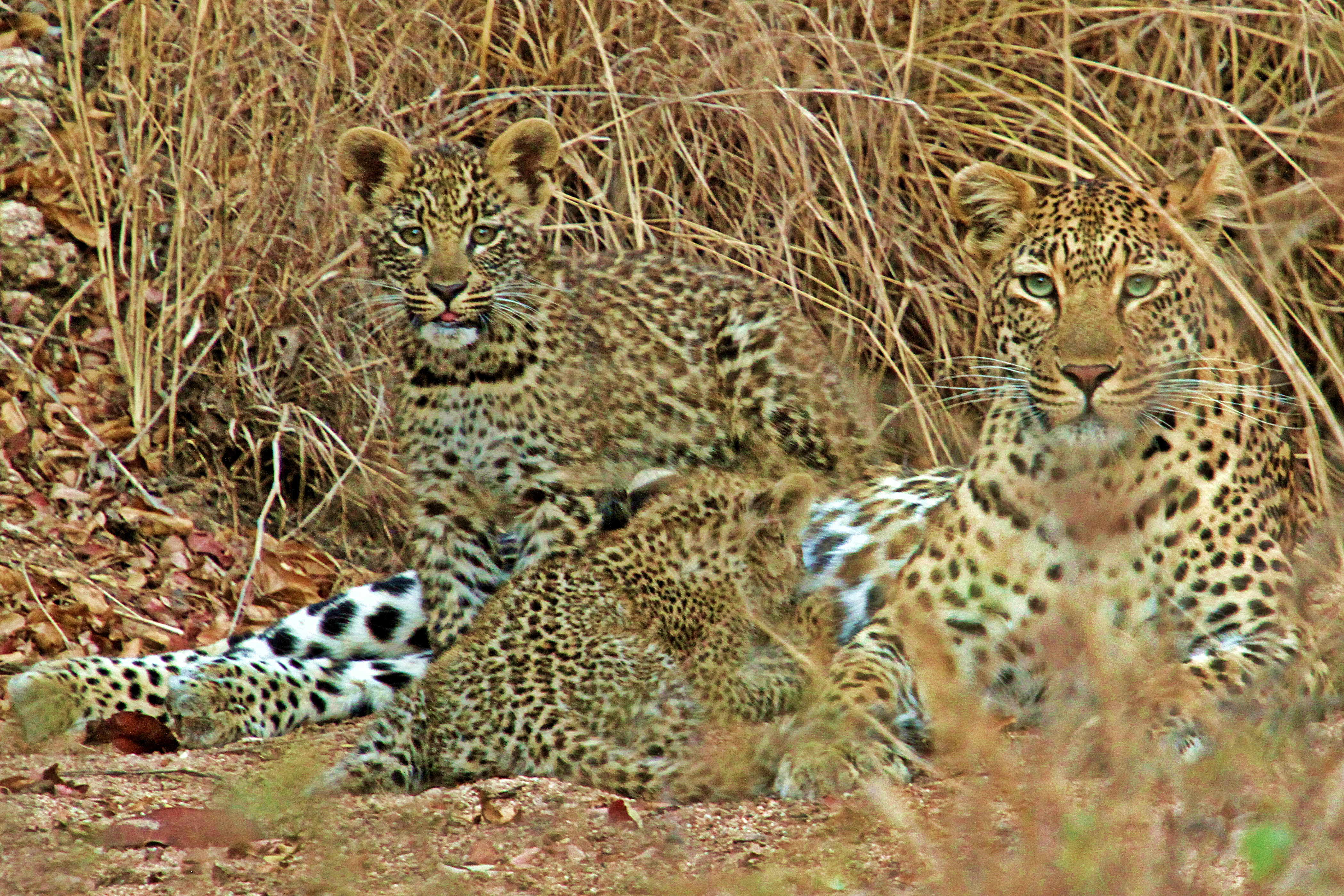 Leopard cubs and mother in the Kruger National Park