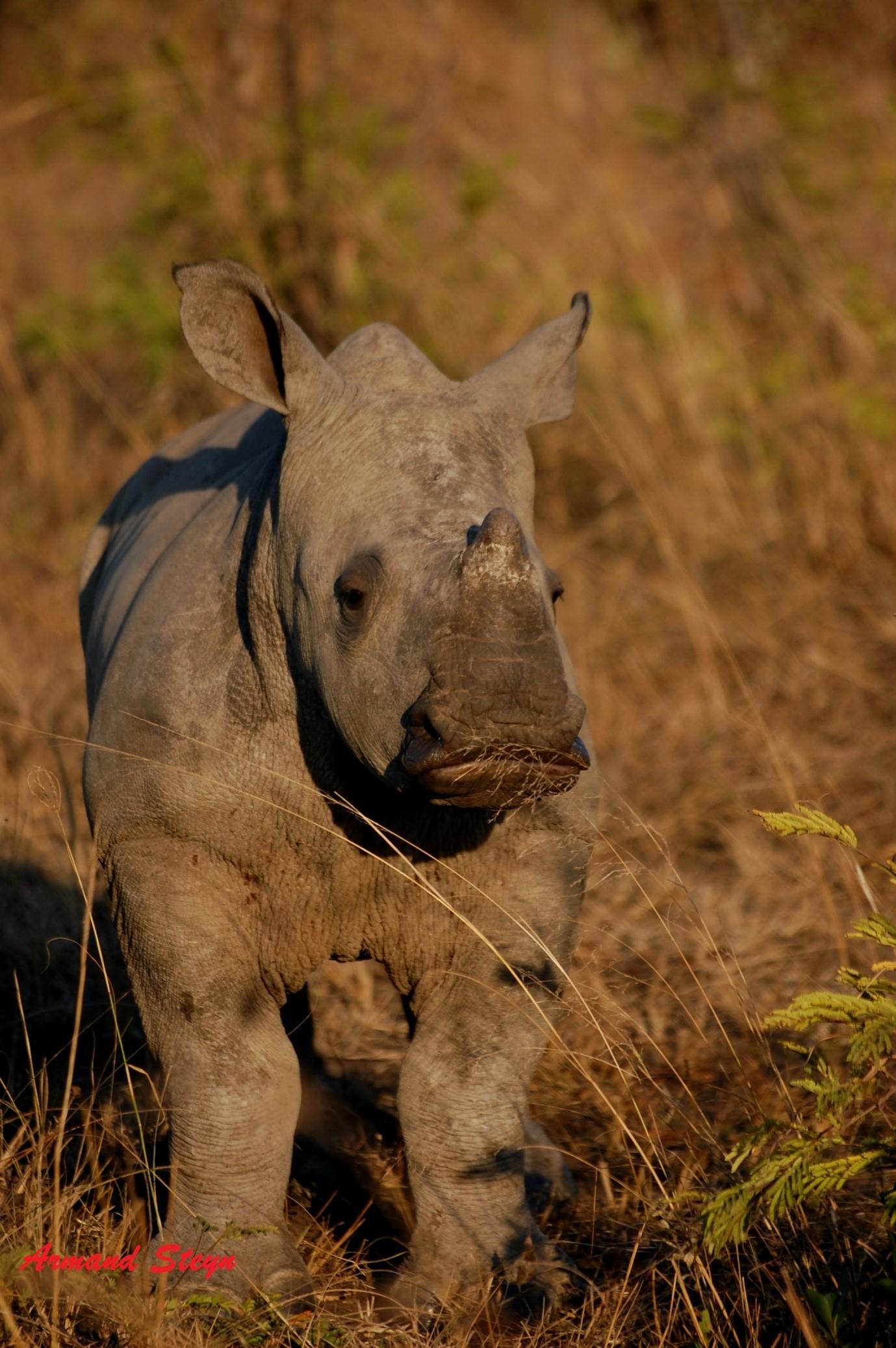 Rhino baby - photograph by Ranger Armand Steyn