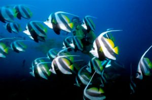 Scuba Diving With Angel Fish