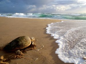 Turtle Tracking - Turtle After Laying by Donna Scherer Fisheyeafrica