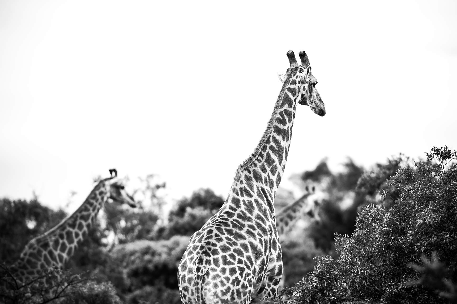 Giraffes at Rhino Ridge Safari Lodge