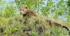 Leopard - Rhino Ridge Safari Lodge